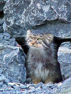 Manul-small-wild-cat
