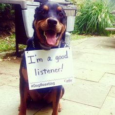 Buddha learned good listening skills during his Manners Obedience Training. It didn't hurt that there were treats involved!! #dogboasting #caninecompany #rottielove #dogtraining
