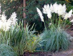 graminées ornementales aménagement jardin- herbe de la pampas