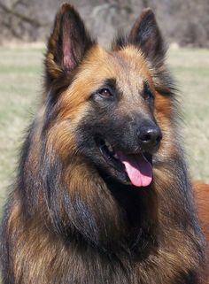 Dog Ownership Ideas ** Read more details by clicking on the image. All Dogs, I Love Dogs, Dogs And Puppies, Belgian Shepherd, German Shepherd Dogs, Berger Malinois, Belgian Tervuren, Puppy Stages, Family Dogs