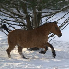 Bashkir Curly / Suffolk Draft Horse - Greyling.  Romping in the snow.   www.stablelifeinc.org