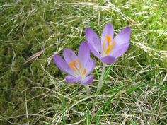 The first crocuses by RKo