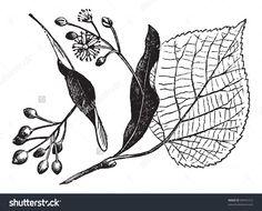 http://image.shutterstock.com/z/stock-vector-linden-leaf-flower-and-fruit-vintage-engraved-illustration-trousset-encyclopedia-84941212.jpg