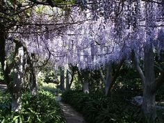 wisteria; my dream home has this somewhere, away from the house, in the yard.  Pretty