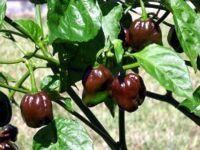 Habanero chocolate - Chili sehr scharf (20 Samen)