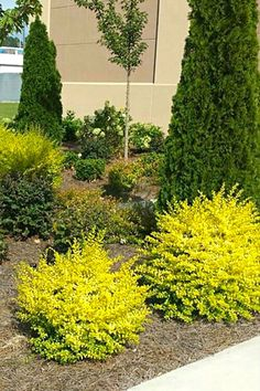 Southern Living® Plant Collection Sunshine Ligustrum - front yard landscaping ideas for full sun Landscaping Supplies, Landscaping Plants, Front Yard Landscaping, Landscaping Ideas, Southern Landscaping, Acreage Landscaping, Landscaping Edging, Outdoor Landscaping, Inexpensive Landscaping