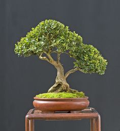 Techniques For Bonsai Cultivating in Three Mile, North Carolina Garden Deco, Plants, Tree, Bonsai Tree, Japanese Garden, Hanging Garden, Growing Tree, House Plants Decor, Planting Succulents