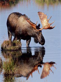 Image detail for -Limited Editions Moose, Caribou, Deer, Elk Bison prev . Beautiful Creatures, Animals Beautiful, Cute Animals, Wild Animals, Baby Animals, Bull Moose, Moose Hunting, Moose Antlers, Pheasant Hunting