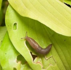 This guide is about keeping slugs off hostas. Slugs are a common pest to Hostas and can munch large holes in their leaves.