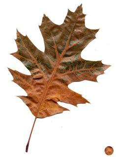 oak leaves!