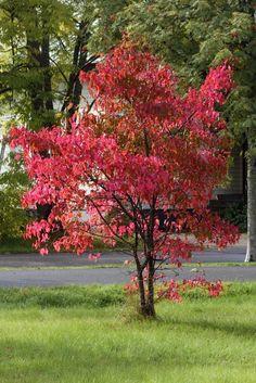 Punaisena hehkuva mongolianvaahtera. Pink Trees, Red Tree, Ornamental Grasses, Small Trees, Fall Photos, Fruit Trees, Dream Garden, Backyard, Patio
