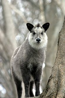 Japanese serow by wikipedia: This goat-antelope is 'found in dense woodland in Japan, primarily in northern and central Honshu. The animal is seen as a national symbol of Japan and is subject to protection in conservation areas. #Japnese_Serow