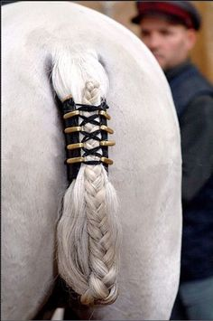 "A Lipizzaner stallion displays the ""queue"" braid and ""schweiftasche"" leather tail bag used when performing the Capriole in airs above the ground."