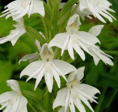 A Haunt of Ghosts. Strange Flowers, Unusual Flowers, Rare Flowers, Different Flowers, Types Of Flowers, Flowers Nature, Amazing Flowers, White Flowers, Moon Garden