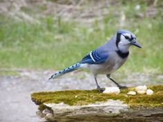 The Brash and Bold Blue Jays