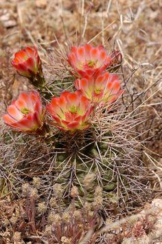 Echinocereus xroetteri, USA, New Mexico, Orogrande More Pictures at: http://www.echinocereus.de