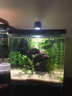 My lil jungle shrimp 1/2 gallon.