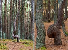 Танцующий лес Crooked Forest, Plants, Plant, Planets
