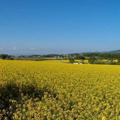 Attractions of Hokkaido! Takikawa of Rape Flower Festival  To the other side of the earth, overlooking the beautiful yellow carpet that spread as far as the eye can see, Takikawa of rape field.  Rape field of Takikawa boasts a planted area and Japan of rape blossoms every year beautiful yellow flower garden will cover the one side per.  Still full bloom of a rape field was to back the Shokan another mountain range that remains of the snow, has become a tradition of the season will tell the…