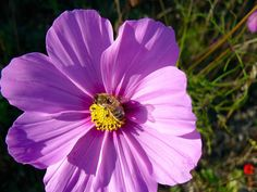 Honey bee on pink cosmos Flower Garden Pictures, Flower Images, Annual Flowers, Garden Seeds, Nature Images, Aster, High Quality Images, Cosmos, Free Images