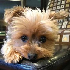 """Learn additional details on """"yorkshire terrier puppies"""". Have a look at our web site. Yorkies, Yorkie Puppy, Yorkshire Terrier Dog, Cute Little Puppies, Cute Puppies, Pet Dogs, Dog Cat, Pets, Silky Terrier"""