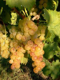 September 2014: the Moscato grapes are ready for harvest | Vignaioli da Generazioni | Franco Mondo