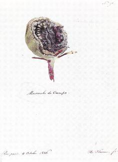 FLORENCE, Hercule – Maremelo do Campo – 1826 – Aquarela – 22,5 x 18,4 cm - Coleção Arquivo da Academia de Ciências (São Petersburgo)