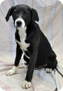 Forrest City, AR - Labrador Retriever Mix. Meet Jasmine a Dog for Adoption.