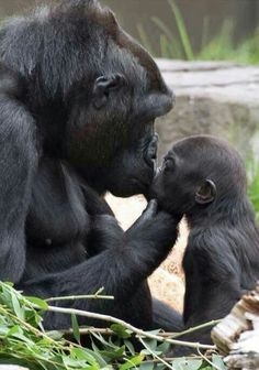 Gorillas! Mama & Baby share a kiss!