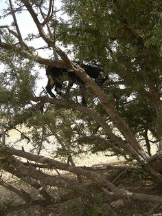 Goats in trees!  (Argan trees) -
