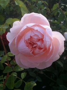 ~'Wildeve' A David Austen rose