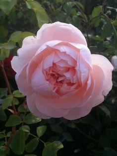 'Wildeve'  A David Austen rose