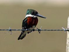 Foto martim-pescador-pequeno (Chloroceryle americana) por Ernani Rebello | Wiki Aves - A Enciclopédia das Aves do Brasil