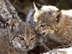 Baby Iberian Lynx | La lista de animales en peligro de extinción de España es la ...