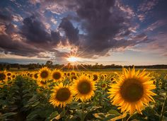 Photo of sunflowers posted by Kurt Budliger on Picasa.