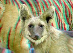 Manenwolf Chrysocyon Brachyurus 3D