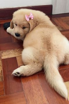"""Receive terrific tips on """"golden retriever puppy"""". They are on call for you on our web site. Retriever Puppy, Dogs Golden Retriever, Golden Retrievers, Cute Dogs And Puppies, I Love Dogs, Doggies, Puggle Puppies, Cutest Dogs, Maltese Dogs"""