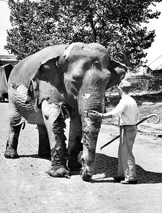 This elephant, severely burned in a tent fire which spread terror among Ringling Brothers Circus animals, was one of two destroyed in Cleveland. An attendant guards the animal with flesh burned away, Aug. 4, 1942. (AP Photo)