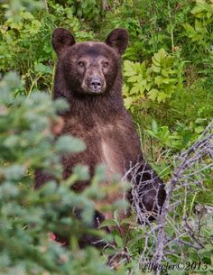 ☀3/7/13, animals. Cinnamon-colored black bear just outside Glacier Natl Park. Really close encounter as she was concerned about her cub, by Carol L. Fowler
