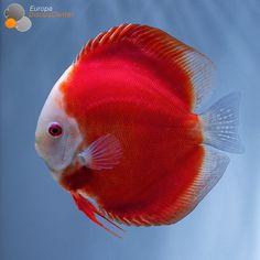 Red Melon Discus #discus #diskus #diskusfische #aquarium #symphysodon #tropicalfish #discusfarm #discusfish #fish #discusbreeding  #fishfarm #fishtank #fishkeeper #freshwater #discushatchery #freshwaterfish #ディスカス #アクアリウム #魚 #水槽 #熱帯魚 #tropical #breeding #breedingfarm #cichlids #cichliden #cichlid #七彩神仙 #diskusfisch