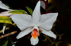 Dendrobium wattii - Flickr - Photo Sharing!