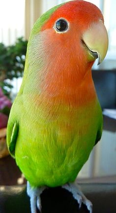 Such a sweet lovey (peach-faced lovebird)