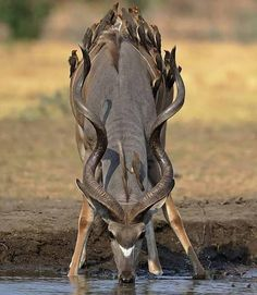 Rony: The founder of the family of deer carvidae is mammals. Nature Animals, Animals And Pets, Funny Animals, Cute Animals, Wildlife Nature, Baby Animals, Beautiful Creatures, Animals Beautiful, Beautiful Smile