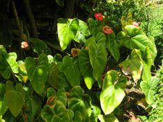 Flamingoblume Blüte rot grün Anthurium andreanum