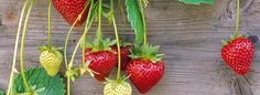 How to plant strawberries at home - [in portuguese]