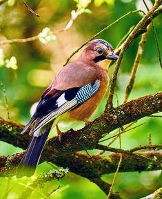 The Eurasian jay (Garrulus glandarius) Kinds Of Birds, All Birds, Cute Birds, Pretty Birds, Beautiful Birds, Animal Doodles, Tier Fotos, Bird Pictures, Colorful Birds