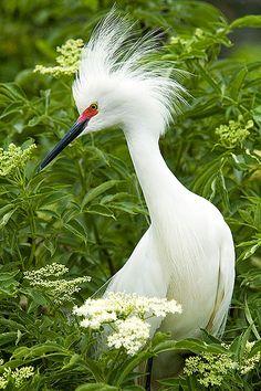 Snowy Egret, via Flickr.