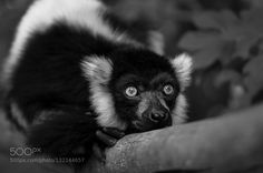 black-and-white ruffed lemur #PatrickBorgenMD
