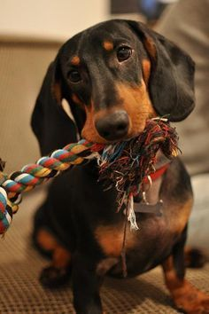 This is my toy. There are many like it, but this one is mine. Now, don't mess with my toy. #dachshund