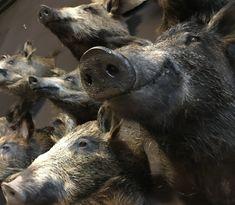 Diverse opgezette kleine wilde zwijnen - Opgezette dierenkop, Opgezette kop. - De Jachtkamer